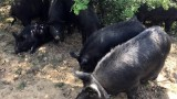Четвърти случай на африканска чума във Великотърновско