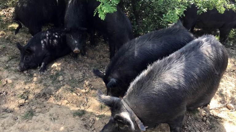 Хората в Русенско се оплакват от силна миризма от терените със загробени прасета
