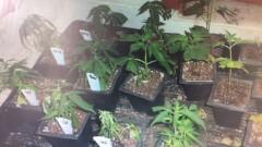 Откриха домашна оранжерия за марихуана в село Лъка
