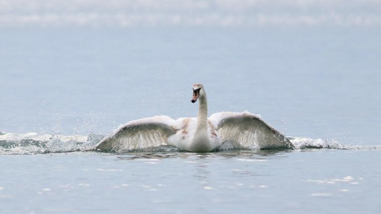 Най-много зимуващи водолюбиви птици у нас са регистрирани по Черноморското