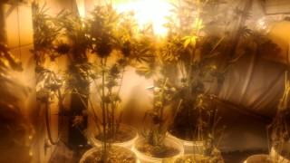 Помориец си отглежда марихуана на тавана
