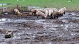 Инспектори проверяват местата със загробени свине