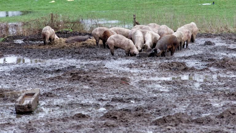 Най-важният въпрос е дали чумата по свинете е излязла от Тутраканци
