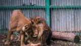 Транспортират бременна лъвица от Разград в София