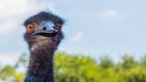 Австралийското ему - големият пакостник сред птиците