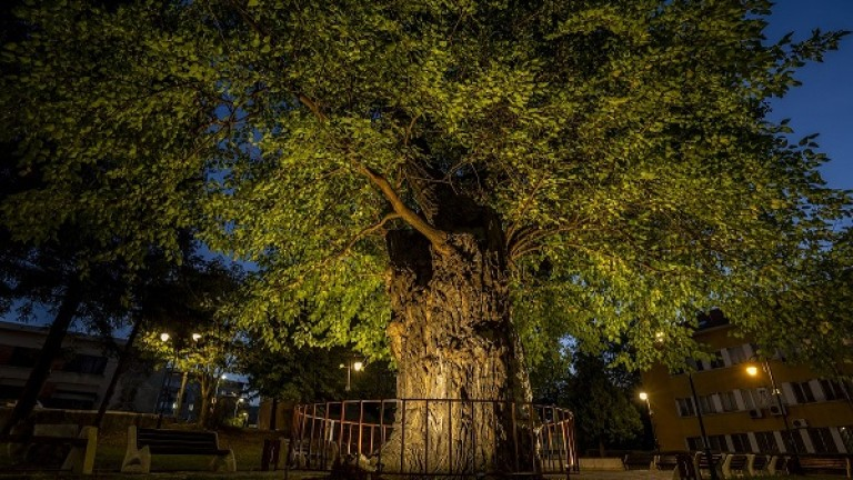 """450-годишна черница стана """"Дърво с корен"""" за 2020 г."""