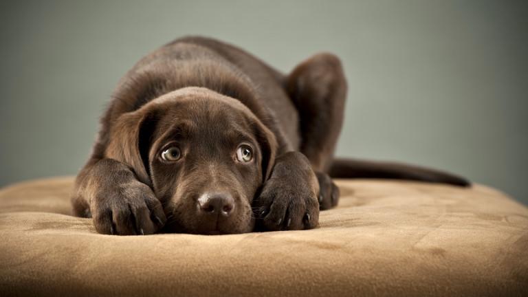 """Какво всъщност означава """"виновният"""" кучешки поглед"""