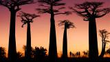 Африка, баобабите на 3000 години и как климатът ги уби