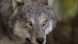 Гигантска глава на вълк от преди 32 000 г. открита в Арктика