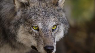 Вълк нападна жена в парка в Хасково
