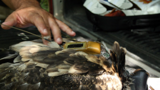 Сателит следи живота на защитени птици в Лом