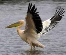 """Пеликаните в """"Сребърна"""" се настаниха"""