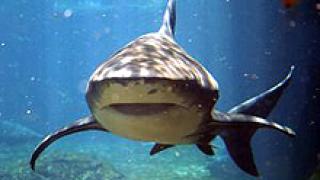 Близо 200 акули уловиха край Несебър