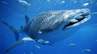 """Акула """"изяде"""" човек"""