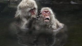 Спа процедурите са полезни и за маймуните