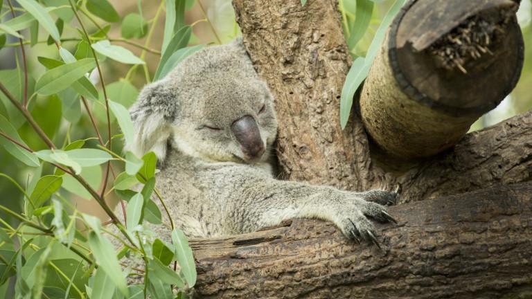 Koala Challenge - най-новото предизвикателство в интернет
