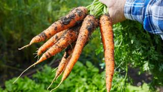 Да изсипеш 26 тона моркови в двора на университета