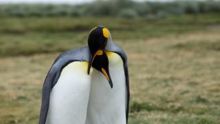 Гей двойка пингвини осиновяват изоставено малко