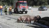 ТИР, пълен с прасета, се обърна в Кресненското дефиле