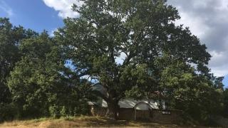 """С вековен дъб, закрилящ църква, участваме в """"Европейско дърво на годината"""""""