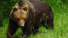 Убиха мечка, нападнала ловец