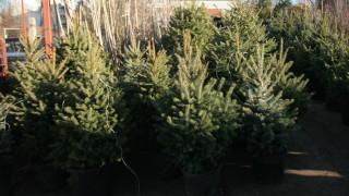 Незаконни елхи се продават в София