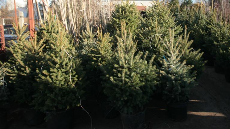 Масови проверки за незаконна продажба на коледните дръвчета започва в