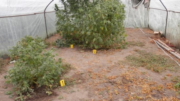 Близо 100 кг марихуана иззеха от оранжерии в Пазарджишко