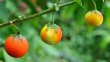 4 плода и зеленчука преди да бъдат генно модифицирани