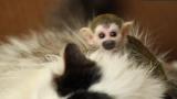 Котка стана майка на малка маймунка (ВИДЕО)