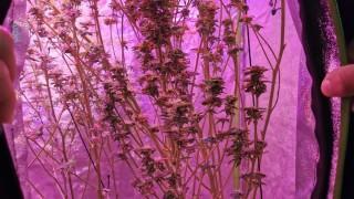Хванаха бургазлия, опънал си палатка с марихуана в апартамента