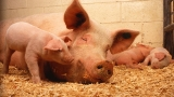 Бум на трихинелоза от нелегален свинарник