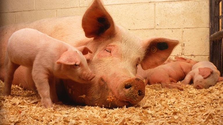 Първа положителна проба за африканска чума по прасетата у нас