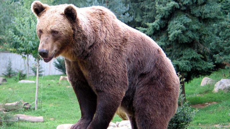 Страх в Сопот заради бродеща мечка