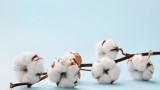 Памукът с ядливи семена
