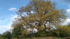 """Български дъб в конкурса """"Европейско дърво на годината"""""""