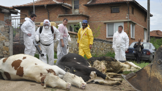 Ветеринарите оставени без заплащане за борбата си с нодуларния дерматит