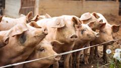 Обявиха Благоевград за високорискова зона за Африканска чума