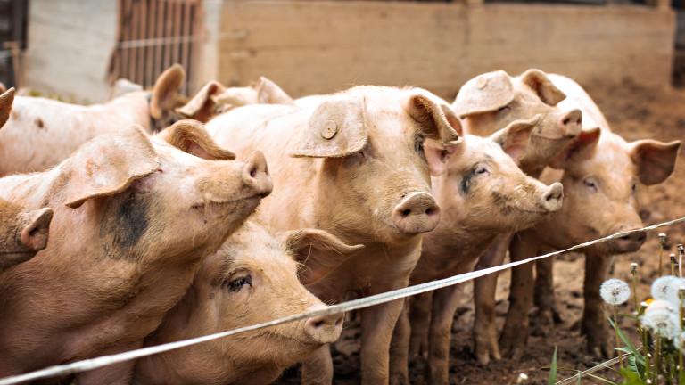 Собственици на прасета се сблъскаха с БАБХ в Бургаско