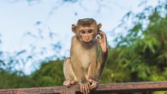 Маймуни под стрес - същите като нас
