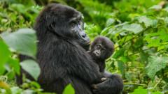 Голямата новина за горилите от Уганда