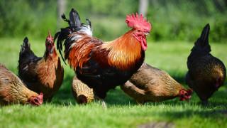 Жители на Хасковско на бунт, селото им се превърнало в гробище за кокошки