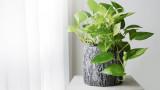 Ново домашно растение може да пречиства въздуха