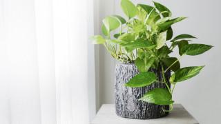 Домашното растение, което пречиства въздуха