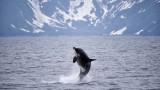 Косатката, която преплува над 8000 километра