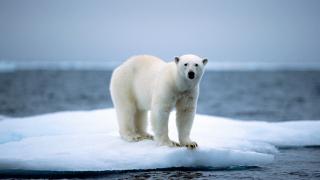 Руски учени обсадени от полярни мечки на малък остров в Северния ледовит океан
