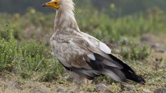 Търсят доброволци за охрана на гнездата на египетски лешояд