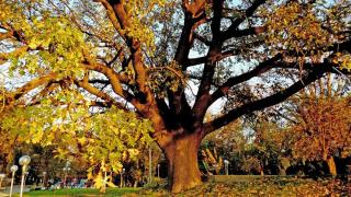Обявиха 200-годишен дъб за защитено дърво