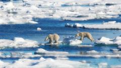 Неизбежно ли е изчезването на полярните мечки