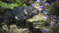 За първи път от 3000 г. тасманийски дяволи отново са в дивата природа на континентална Австралия